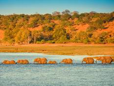 Elephant herds on the Chobe River