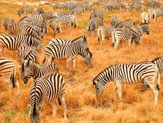 Zebra herd in the Etosha National Park